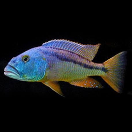 Aristochromis christyi 4-5cm