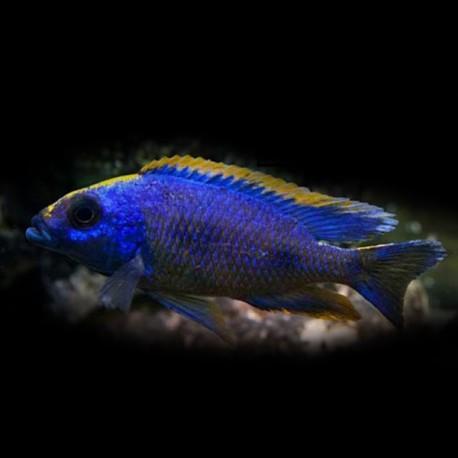 Aristochromis lombardoi 5-7cm