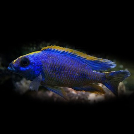 Aristochromis lombardoi XL