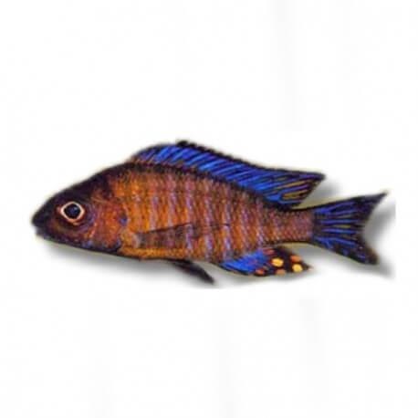 Aulonocara ethelwihae 4-5cm