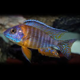 Aulonocara jacobfreibergi 5 - 7 cm