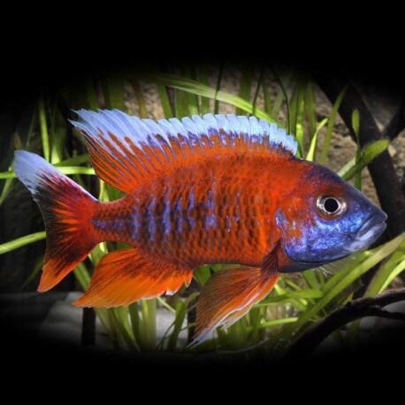 Aulonocara jacobfreibergi sp. red 4-5cm