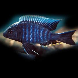 Aulonocara kadensis 4 - 5 cm