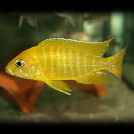 Aulonocara maleri gold 4-5cm