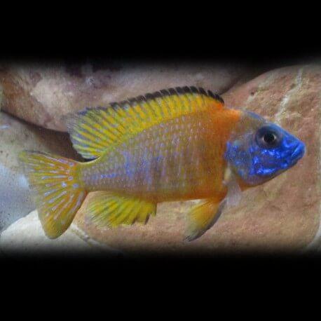 Aulonocara nyassae gold 5-7cm