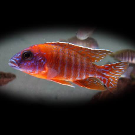 Aulonocara red flash 5-7 cm