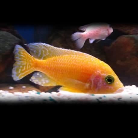 Aulonocara reimondi gold 4-5cm