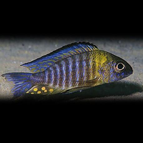 Aulonocara sp. chisumulae 4-5cm