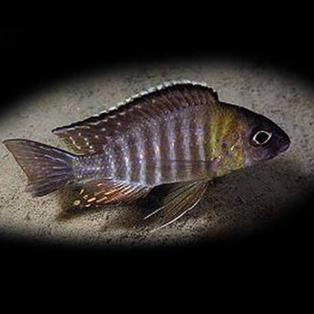 Aulonocara sp. chitahde 4-5cm