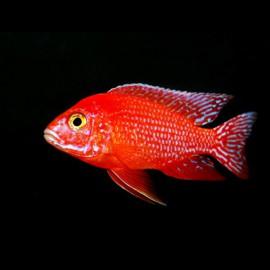 Aulonocara sp. firefish 4 - 5 cm