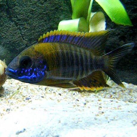 Aulonocara sp. jalo 4-5cm