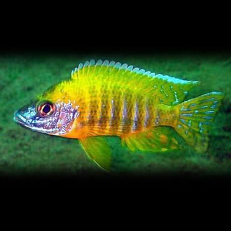 Aulonocara sp. marlerie 4-5 cm