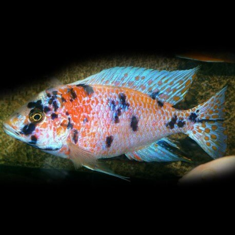 Aulonocara sp. orange blanche XL