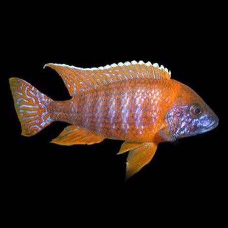 Aulonocara sp. red 5 - 6 cm