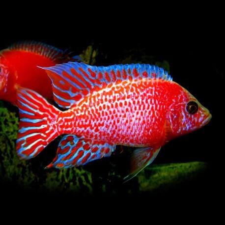 Aulonocara sp. red dragon XL