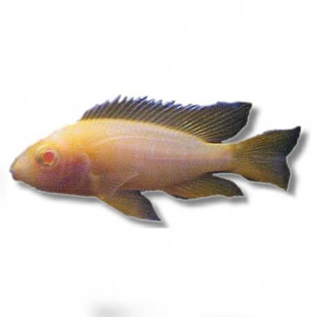 Aulonocara sp. red pink albinos 3-4cm