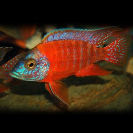 Aulonocara sp. rubin red 5 - 7 cm