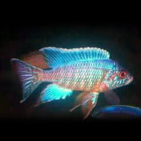 Aulonocara sp. turquoise 4 - 5 cm