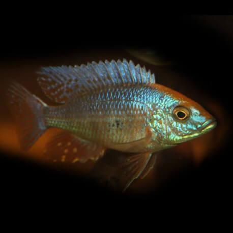 Aulonocara sp. vicapi 8cm