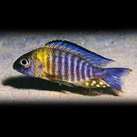 Aulonocara sp. yellow head 7-9cm