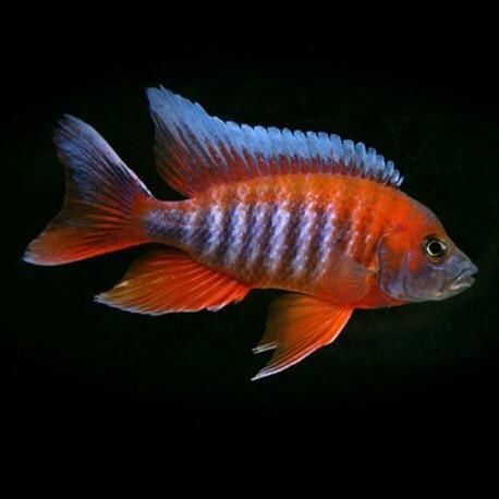 Aulonocara jacobfreibergi sp. blue 4-5cm
