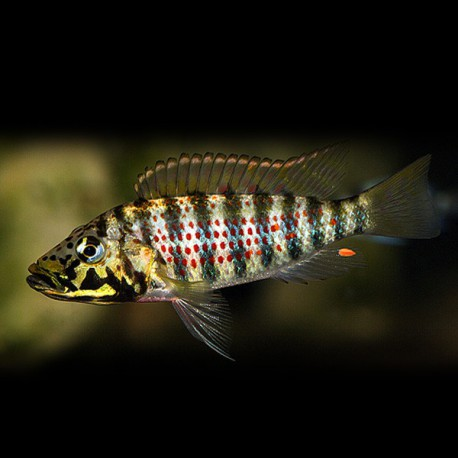 Ctenochromis horei 3,5-4cm