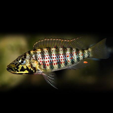 Ctenochromis horei 5-6cm