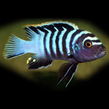 Cynotilapia afra red dorsal 5 - 7 cm