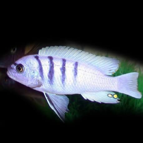 Cynotilapia afra white XL