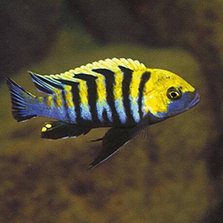 Cynotilapia afra yellow 6-7cm