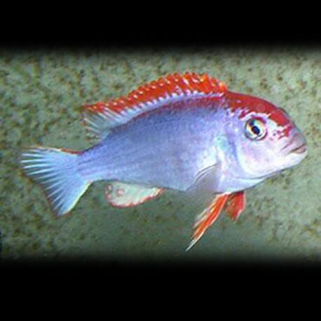 Cynotilapia fletti-red top 3 - 4 cm