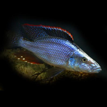 Dimidiochromis sp. taiwan red dorsa 4-5cm