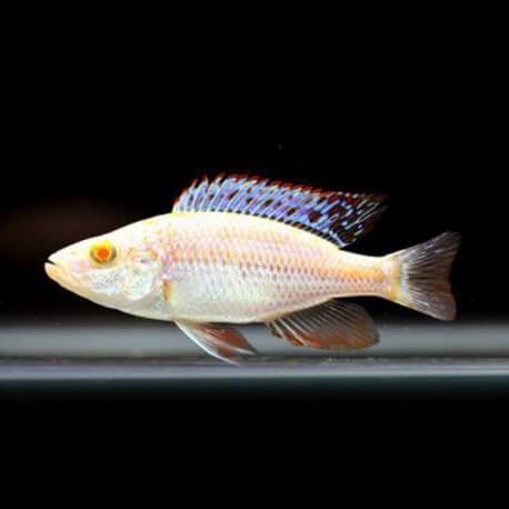 Haplochromis ahli albino 3cm