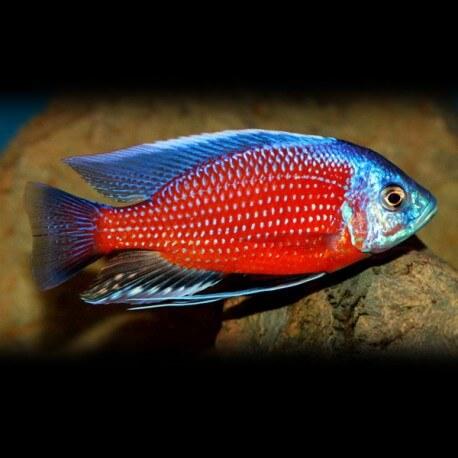 Haplochromis borleyi red fin 4 - 5 cm