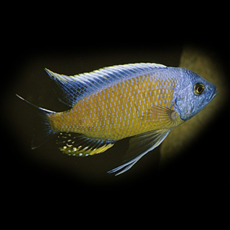 Haplochromis borleyi yelow fin 4-5,5cm