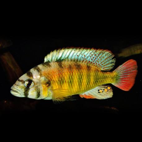 Haplochromis brownae 5-7cm