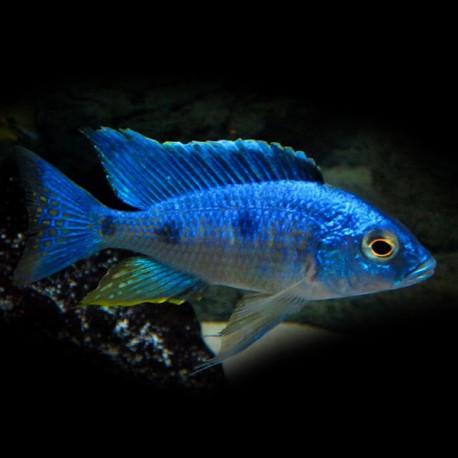 Haplochromis chrysonotus 4-5cm