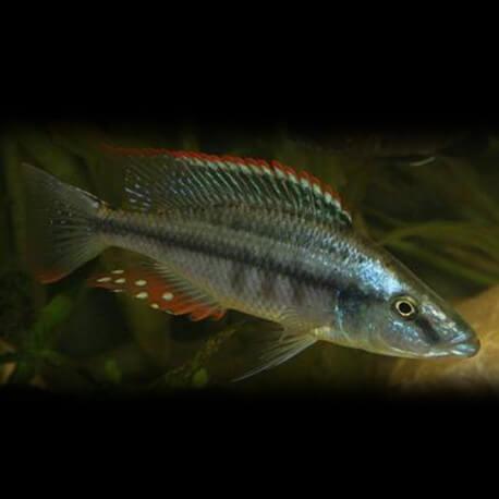Haplochromis compressiceps 4-5cm