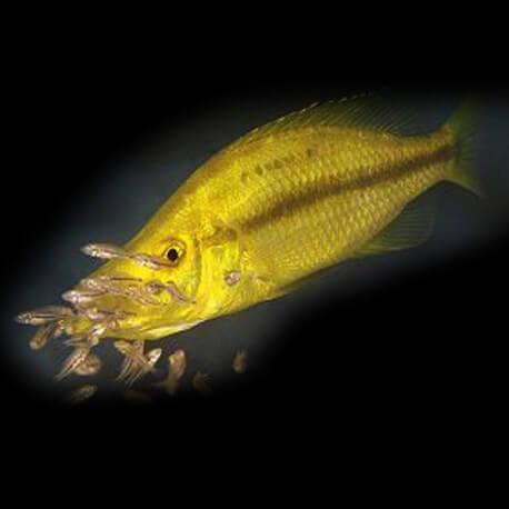 Haplochromis compressiceps gold 4-5cm