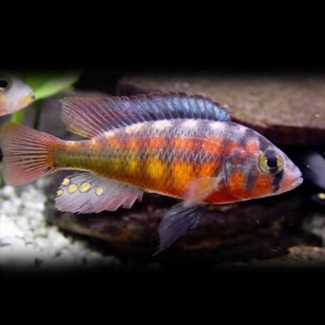 Haplochromis cribensis 3.5 - 4.5 cm