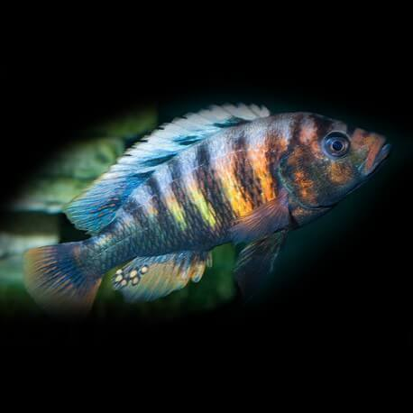 Haplochromis crimson tide 3-4 cm