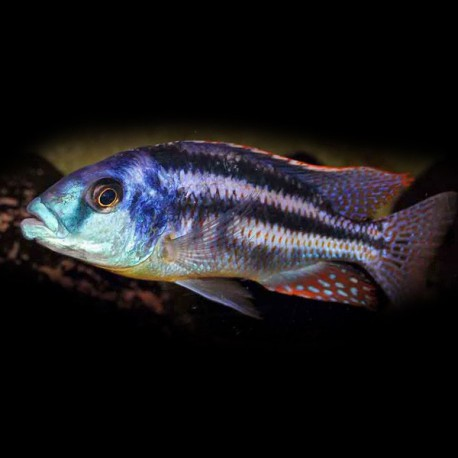 Haplochromis euchilus 7-9cm