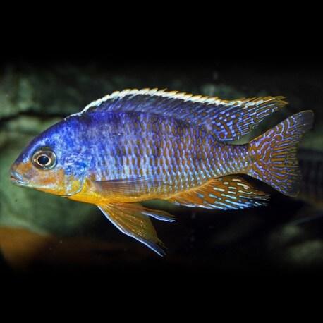Haplochromis fenestratus eastern 4-5cm
