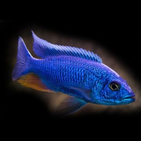 Haplochromis fryeri 4 - 5 cm