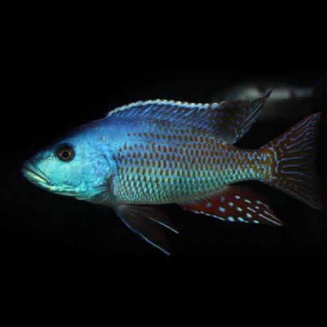 Haplochromis fuscoteniatus 4-5cm