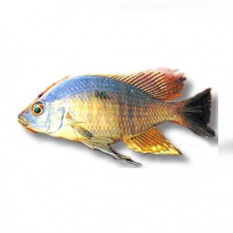 Haplochromis likoma 4-5cm
