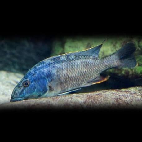 Haplochromis linni 4 - 5 cm