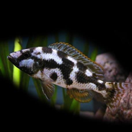Haplochromis livingstonii 4 - 5 cm