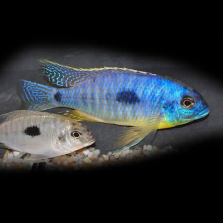 Haplochromis margaretae 7-9cm