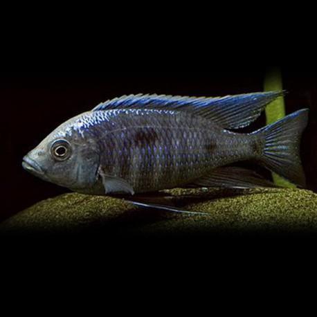 Haplochromis mloto 4 - 5 cm